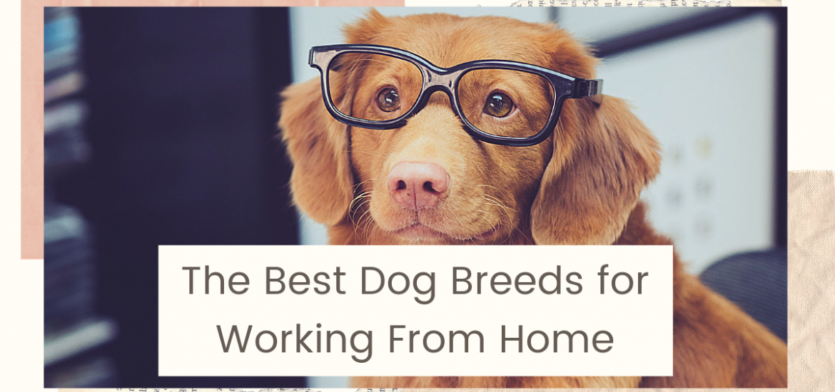 Best Dog Breeds for Working from Home