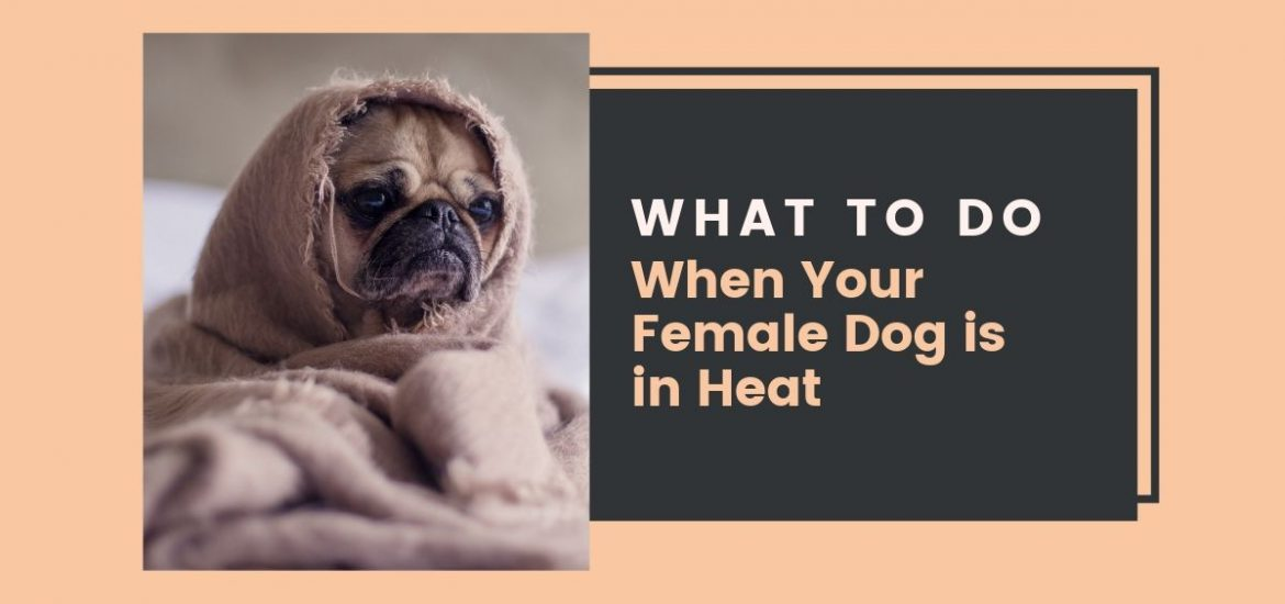 What to do when your female dog is in heat